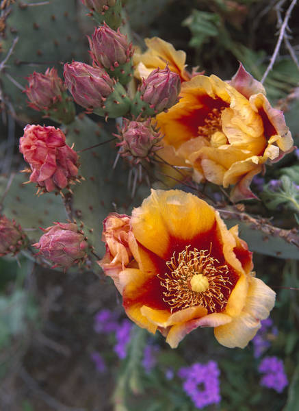 Photograph - Opuntia Opuntia Sp In Bloom, North by Tim Fitzharris