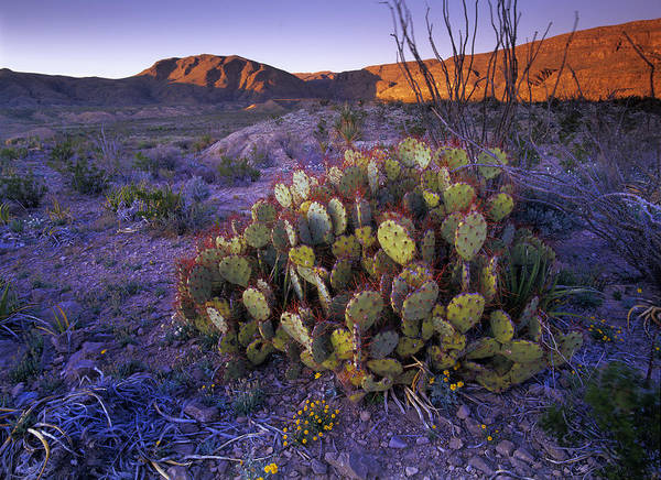 Photograph - Opuntia Opuntia Sp In Chihuahuan Desert by Tim Fitzharris