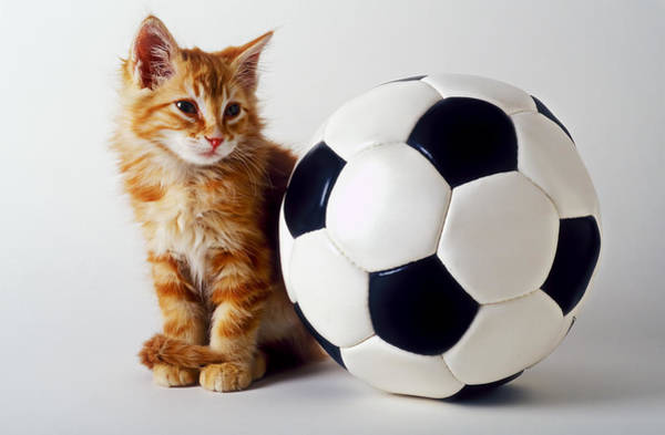 Fuzzy Photograph - Orange And White Kitten With Soccor Ball by Garry Gay