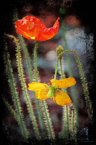 Photograph - Orange And Yellow Poppies by Sarah Broadmeadow-Thomas