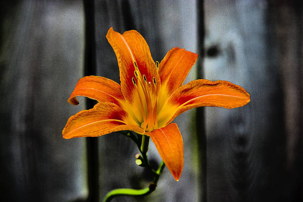 Photograph - Orange Blossom by Keith Allen