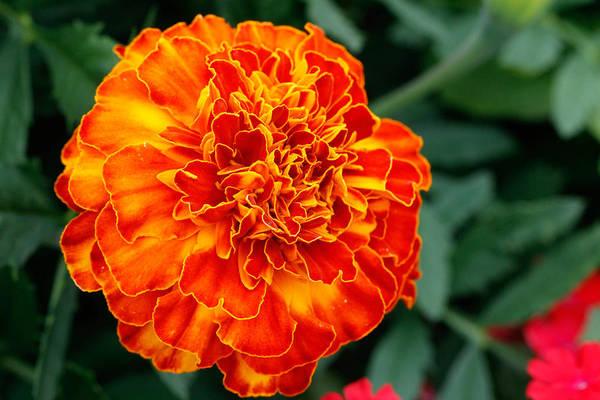 Christy Photograph - Orange Burst Flower by Christy Patino