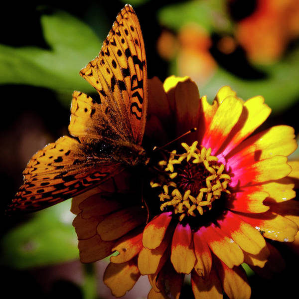 Photograph - Orange Butterfly by David Patterson