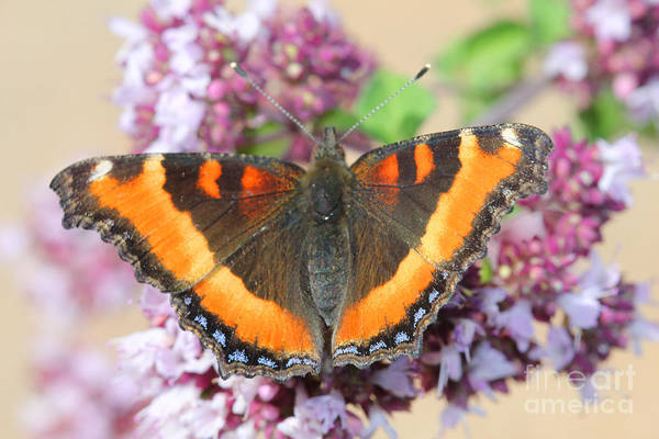 Photograph - Orange Butterfly by Donna L Munro