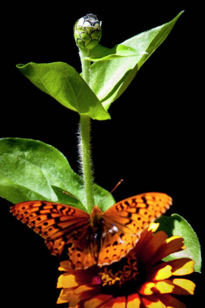 Photograph - Orange Butterfly II by David Patterson