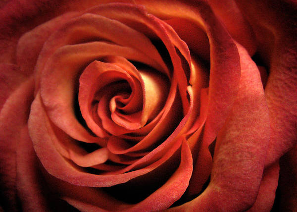 Photograph - Orange Rose by Nancy Griswold