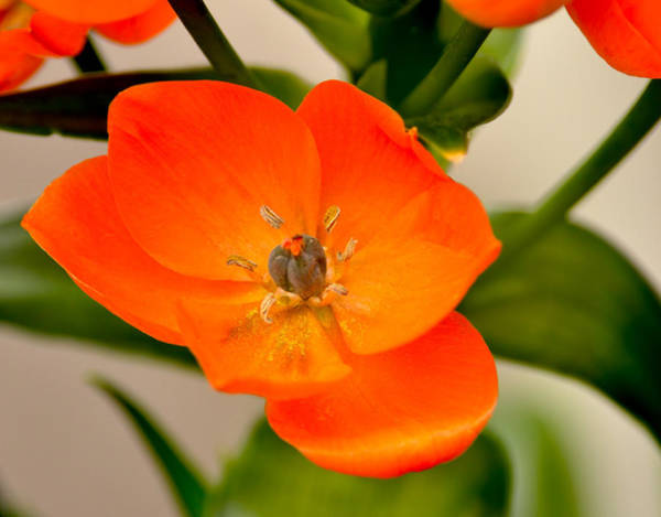 Photograph - Orange Star   by William Jobes