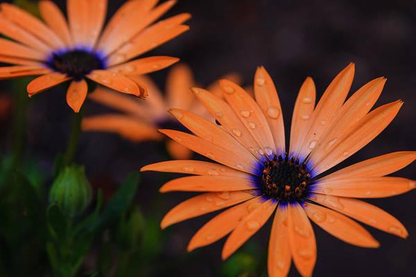 Osteospermum Hybrid Photograph - Orange Symphony Pair by Daniel Ray