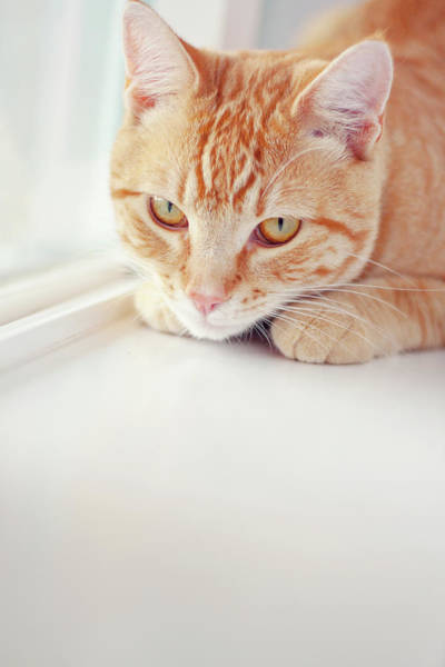 Orange Tabby Photograph - Orange Tabby Cat On White Window Sill by Kellie Parry Photography