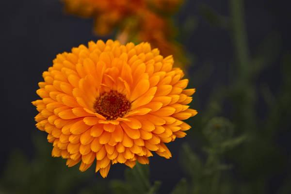 Photograph - Orange Zinnia by Bill Barber