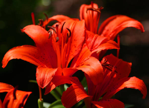 Photograph - Orangered Lilies by Bill Barber