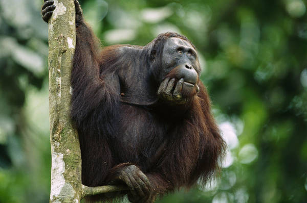 Wall Art - Photograph - Orangutan Deep In Thought by Cyril Ruoso