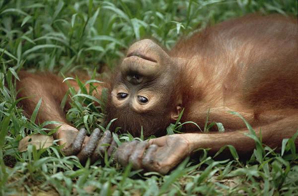 Photograph - Orangutan Pongo Pygmaeus Laying by Konrad Wothe