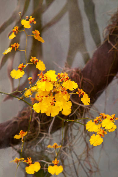 Photograph - Orchid - Golden Morning  by Mike Savad