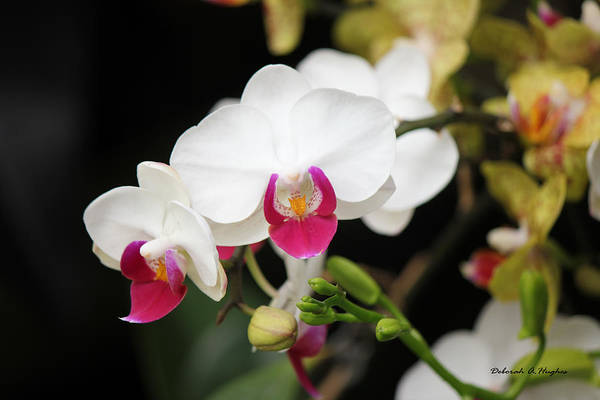 Photograph - Orchid Buds by Deborah Hughes