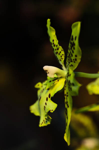 Photograph - Orchid Flower by Michael Goyberg