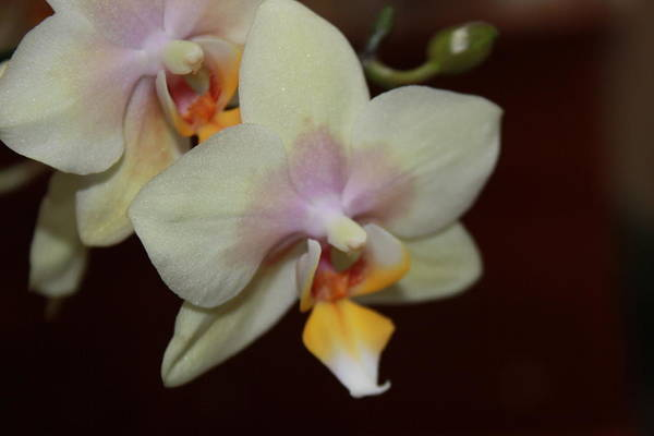 Photograph - Orchid I by Kelly Hazel