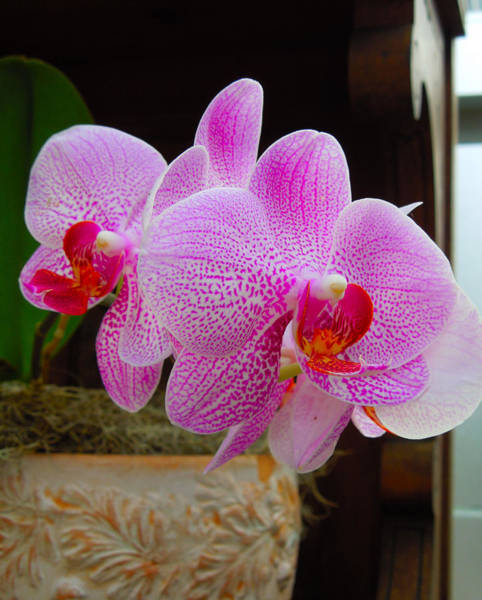 Jennifer Stone Photograph - Orchid by Jennifer Stone