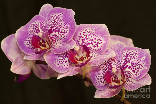 Wall Art - Photograph - Orchids by Eunice Gibb