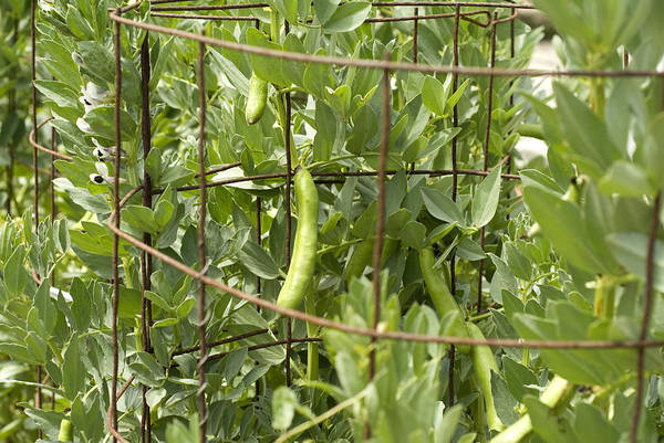 Cage Photograph - Organic String Beans Growing On Wire Cage by Pete Starman