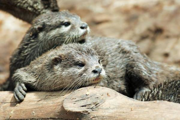 Aonyx Photograph - Oriental Small-clawed Otters by Photostock-israel