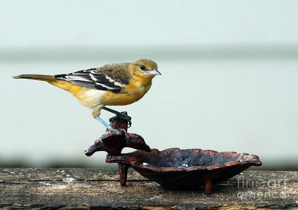 Wall Art - Photograph - Oriole Eating Jelly by Lori Tordsen
