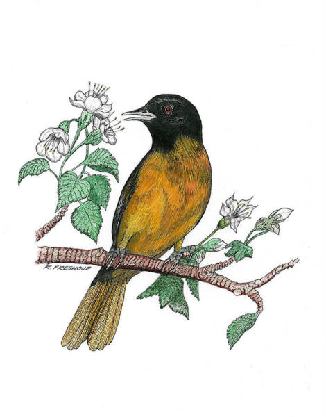 Oriole Drawing - Oriole by Richard Freshour
