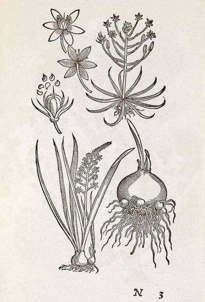 1566 Photograph - Ornithogalum Plant, 16th Century by Middle Temple Library