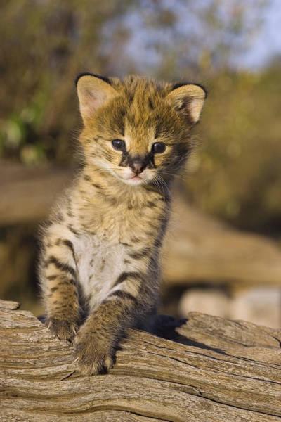 Photograph - Orphan Serval Kitten Leptailurus Serval  by Suzi Eszterhas