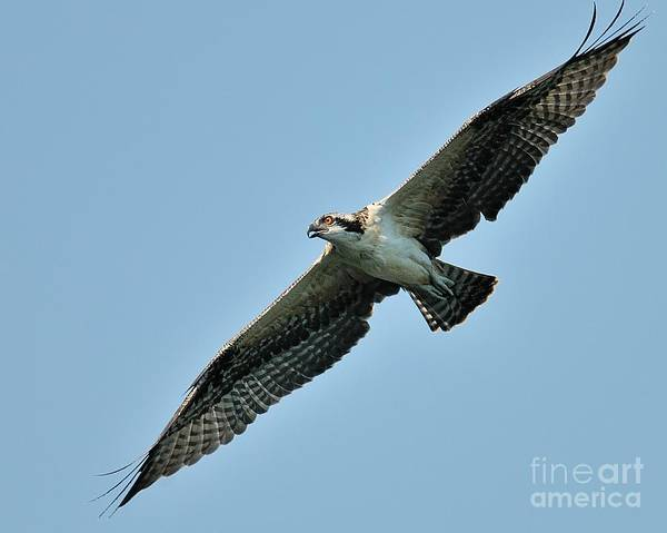 Photograph - Osprey Fledgling by Craig Leaper