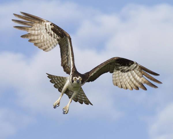 Wall Art - Photograph - Osprey In Flight One by Bill Swindaman