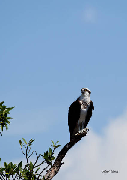Photograph - Osprey by Michelle Constantine