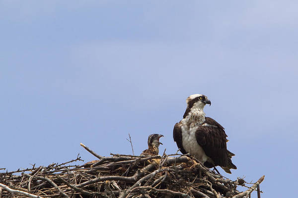 Fairfield Ct Photograph - Osprey Mother And Chick by Stephanie McDowell