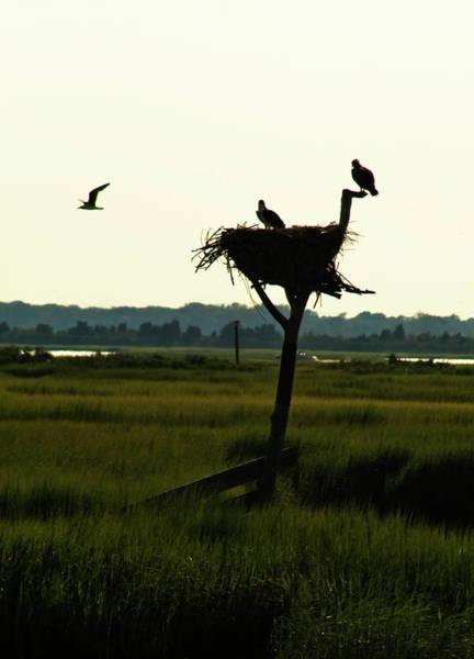 Photograph - Osprey Nest by Tom Singleton