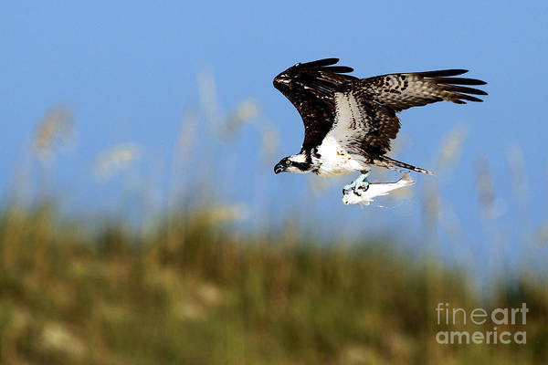 Wall Art - Photograph - Osprey With Fish by Rick Mann