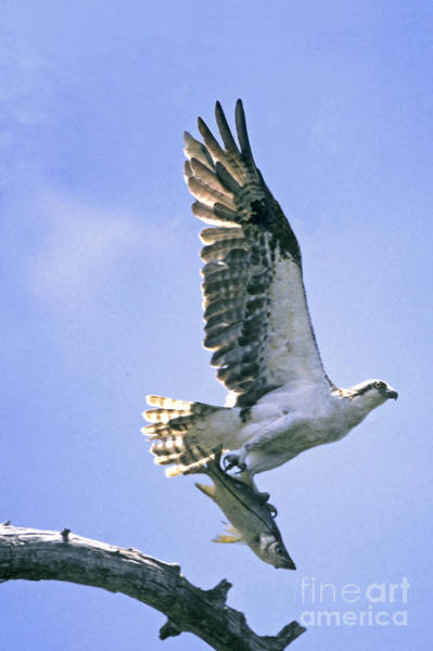 Photograph - Osprey With Snook by Richard Nickson