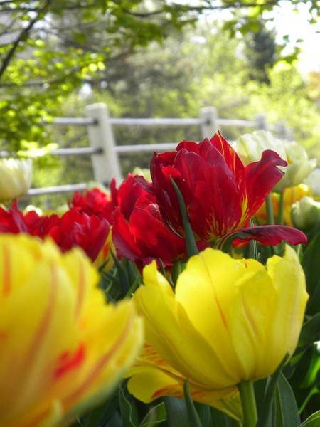 Photograph - Ottawa's Tulip Festival  by Peggy  McDonald