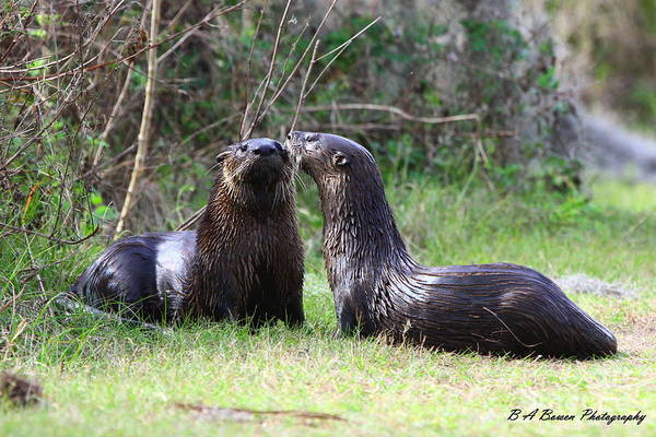 Photograph - Otter Buddies by Barbara Bowen