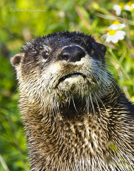 Photograph - Otter by Mike Fitzgerald