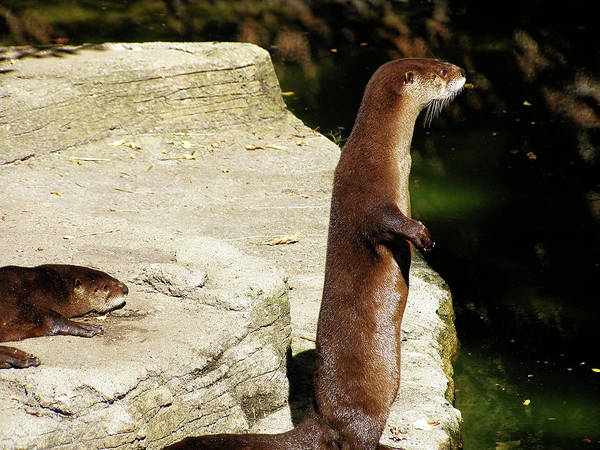 Photograph - Otter On Guard by Scott Hovind