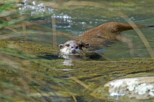 Aonyx Cinerea Photograph - Otterology 1 Of 12 by Stephen Barrie