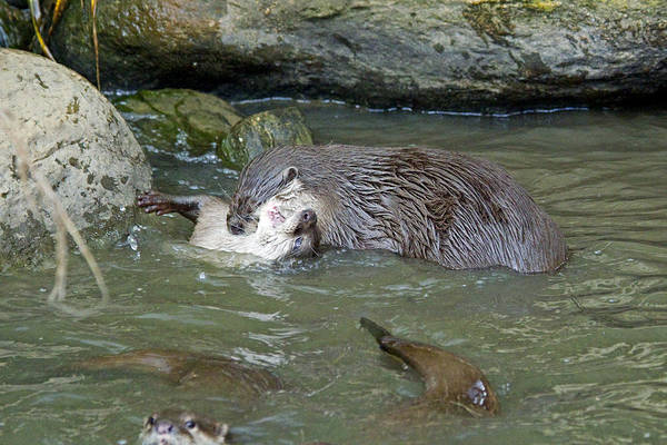 Aonyx Cinerea Photograph - Otterology 10 Of 12 by Stephen Barrie