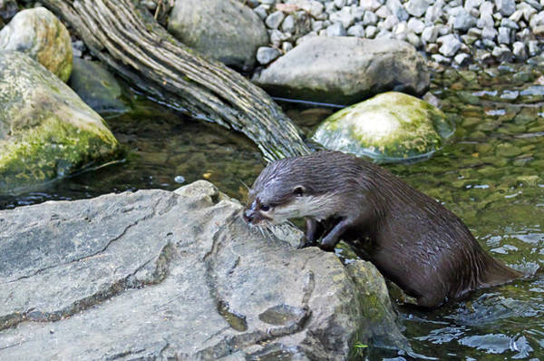 Aonyx Cinerea Photograph - Otterology 11 Of 12 by Stephen Barrie