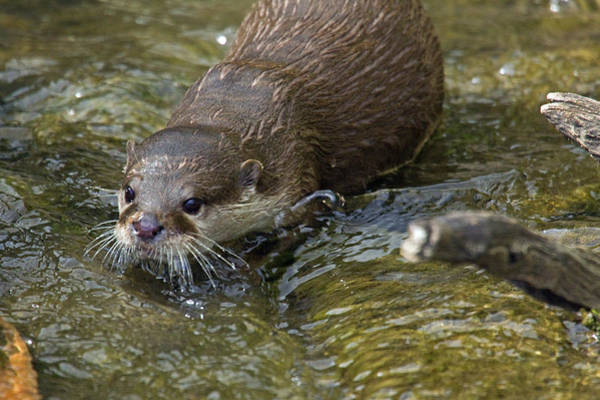 Aonyx Photograph - Otterology 3 Of 12 by Stephen Barrie