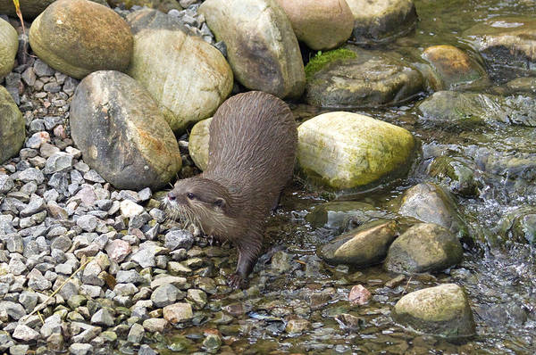 Aonyx Cinerea Photograph - Otterology 4 Of 12 by Stephen Barrie