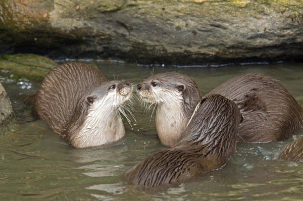 Aonyx Cinerea Photograph - Otterology 5 Of 12 by Stephen Barrie