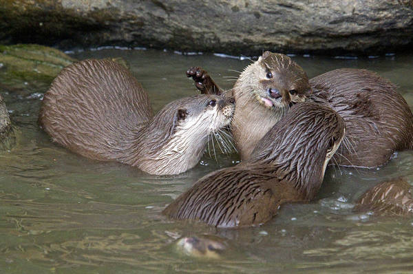 Aonyx Cinerea Photograph - Otterology 7 Of 12 by Stephen Barrie