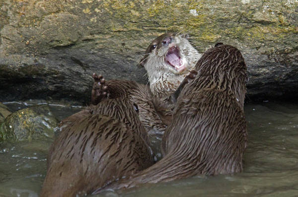Aonyx Cinerea Photograph - Otterology 9 Of 12 by Stephen Barrie