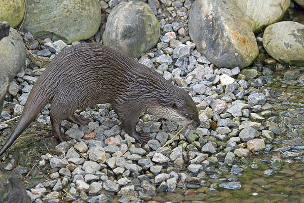 Aonyx Cinerea Photograph - Otteroloy 12 0f 12 by Stephen Barrie