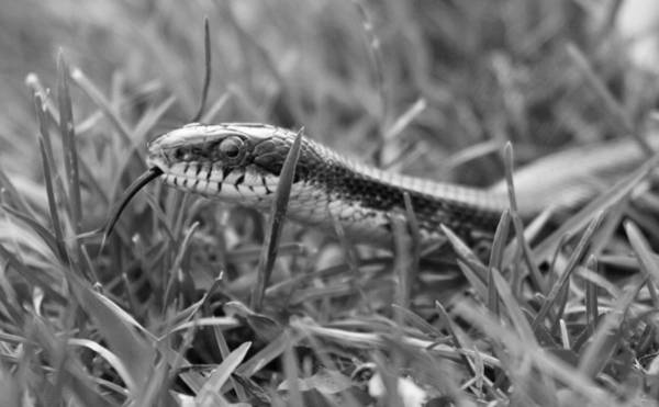 Grass Snake Photograph - Out And About by Betsy Knapp